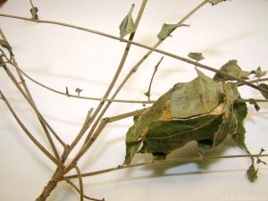 actias_luna_moth_cocoon
